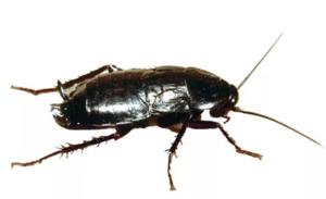 Чёрные тараканы – настоящее бедствие. Как от них избавиться?