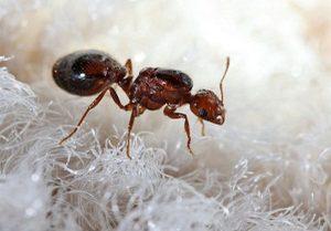 Какие муравьи обитают в квартире