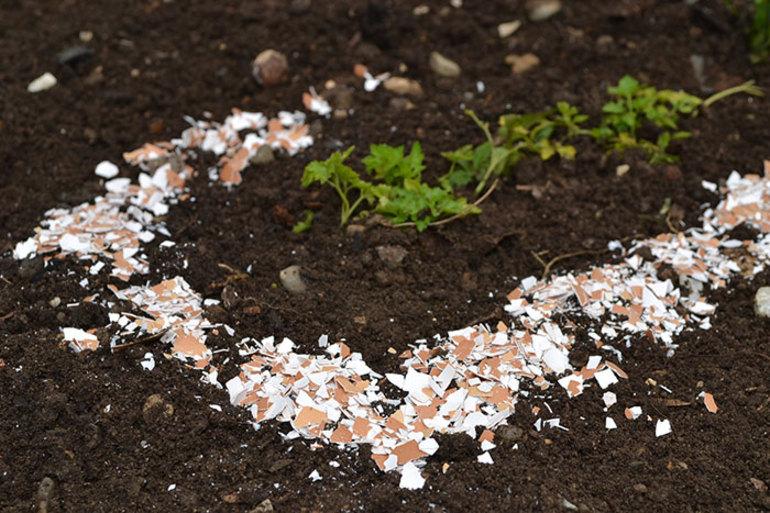 Яичная скорлупа на огороде